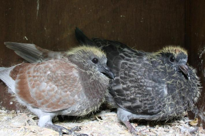 Feral pigeon juveniles