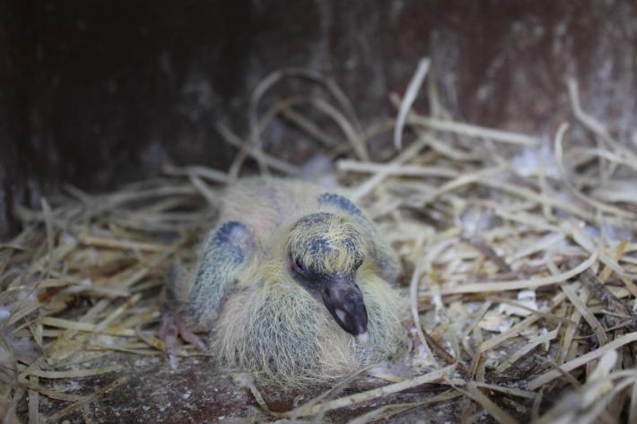 Feral pigeon nestling
