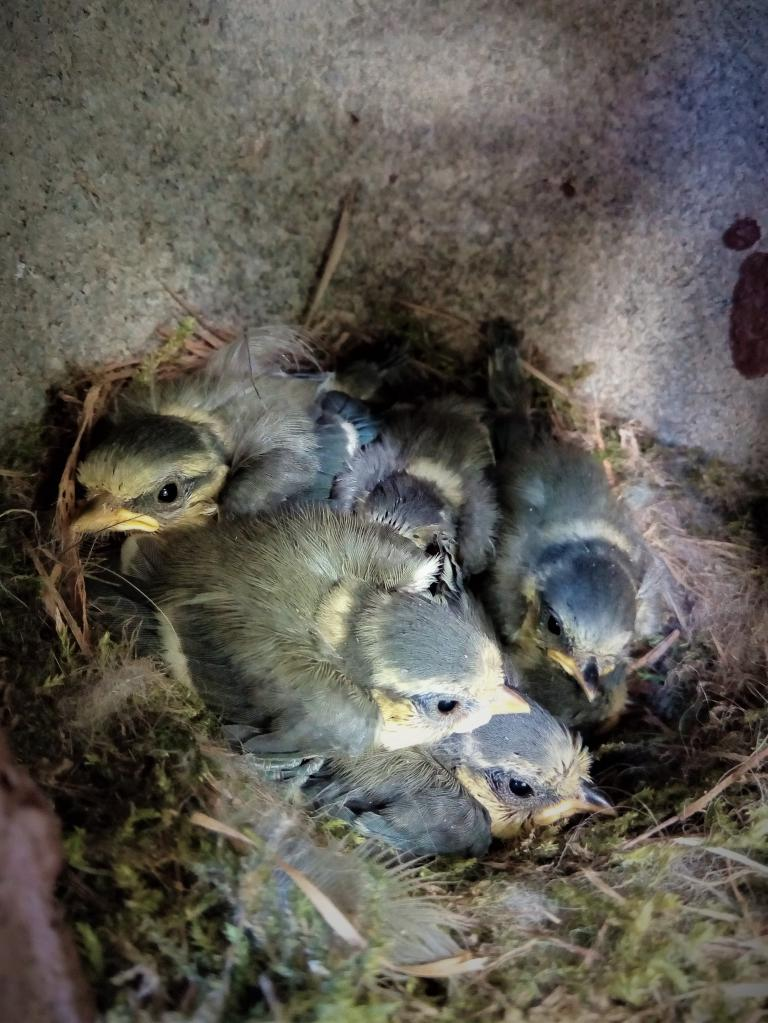 Blue tit brood