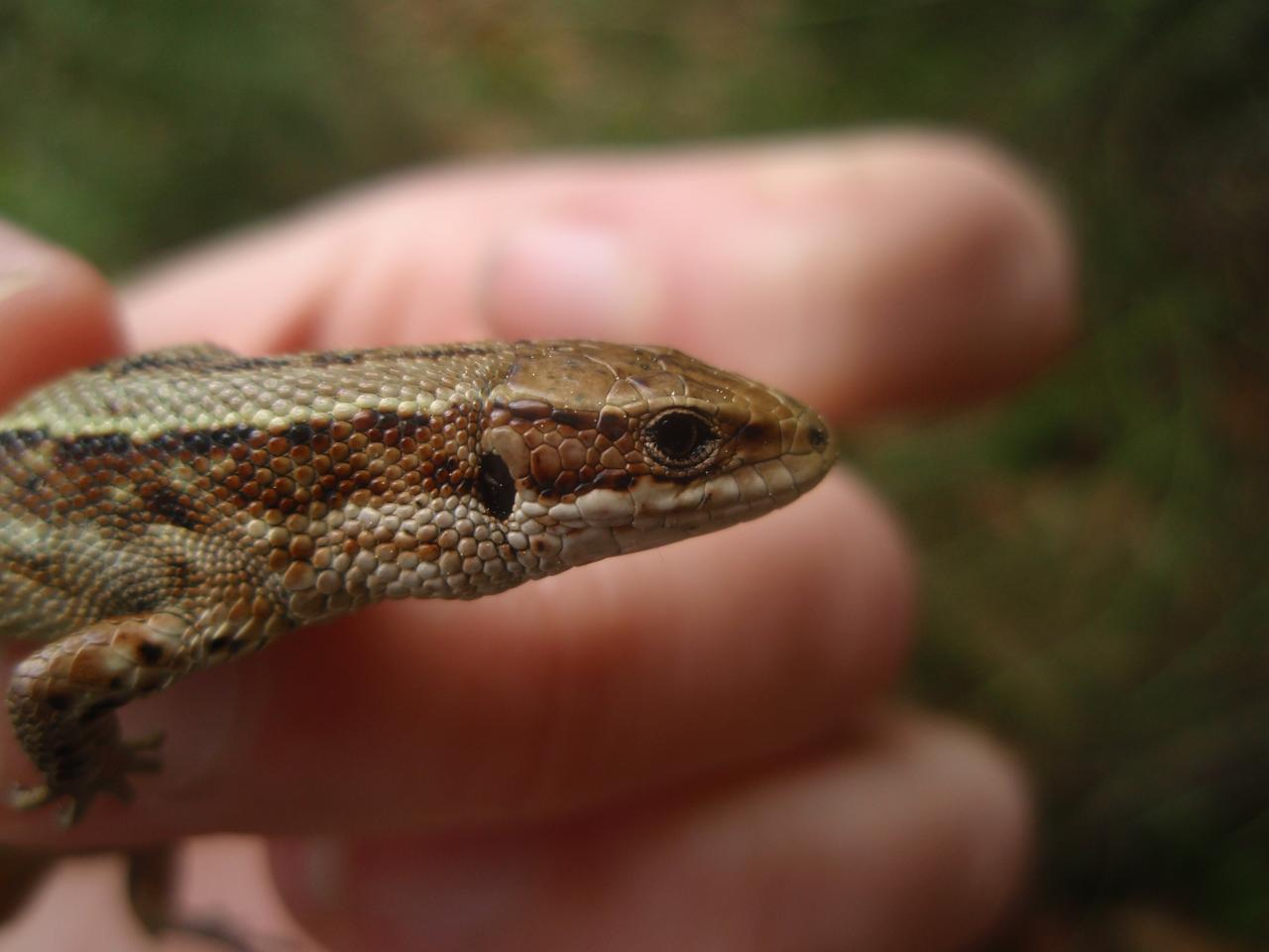 Common Lizard