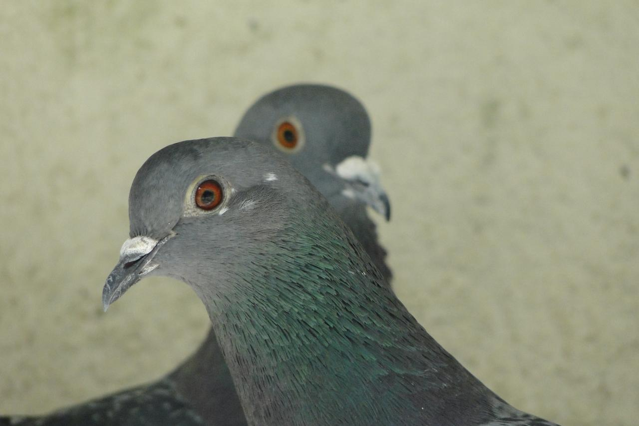 Feral pigeon